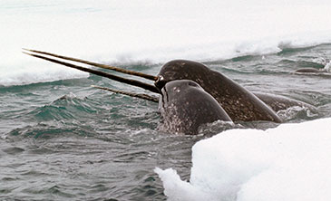 Narwhal has the strangest tooth in the sea | Science News